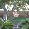 ❤月桃の花に想うこと👌