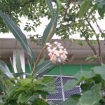 ❤月桃の花に想うこと