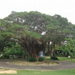 この木なんの木 沖縄版